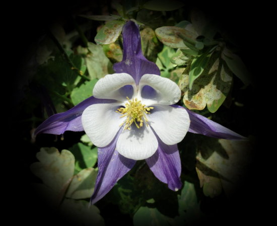 columbine Colorado flower