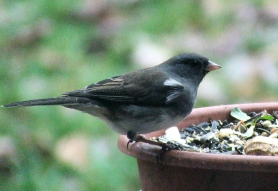 dark eyed junco female