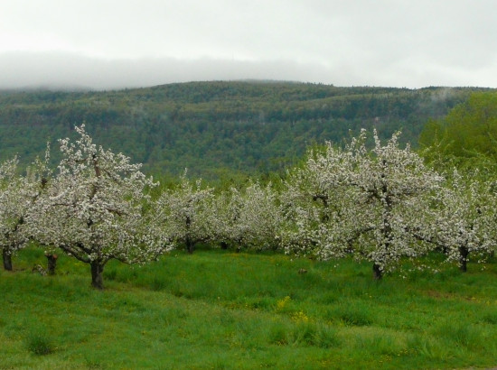 sweetsaturday orchard appleblossoms hills landscape