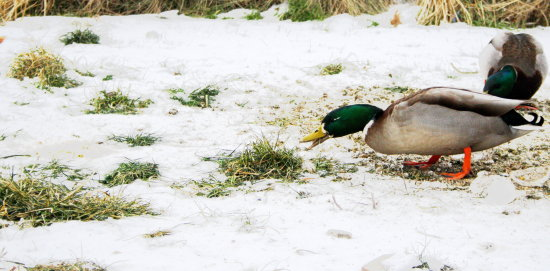 duck eating winter snow