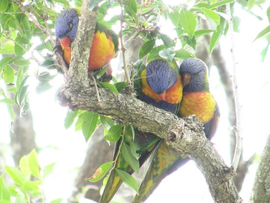 parrot bird nature lorikeet rainbow