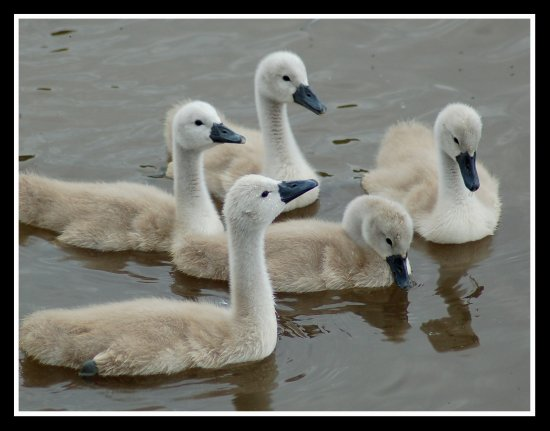 bird birds swan cygnet cygnets nature somerset carlsbirdclub somersetdreams