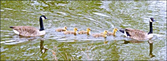 canadageese goslings birds reflectionthursday