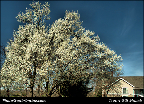 stlouis missouri usa spring tree blossom white blue sky 032811