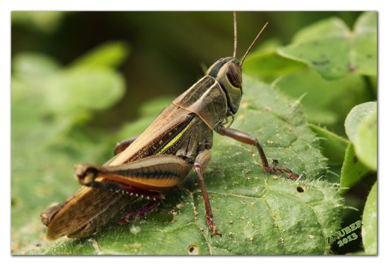 Grasshopper Macro closeup