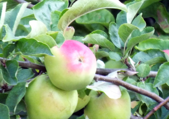 is this a better apple tree shot