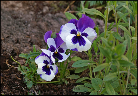 flower pansy nature