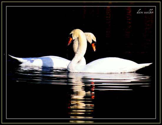 swans saffi9 reflectionthursday