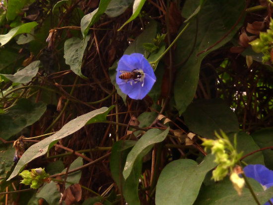 The Blue Blossom the Bee