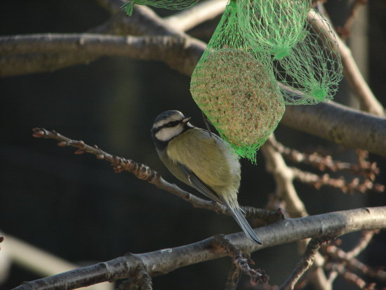 Blue tit still feeding