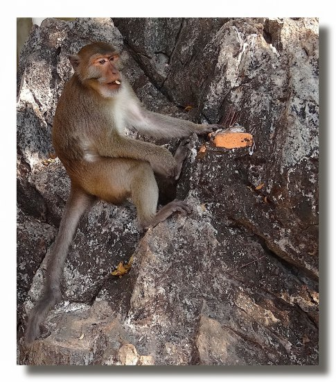 myanmar burma kyaikhto animal monkey burmx kyaix animx monkx