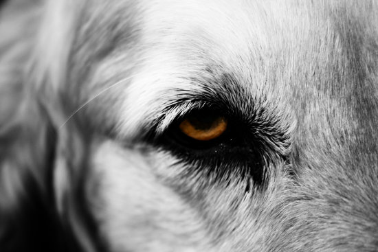 eye golden retriever bw bw dog canon gunter