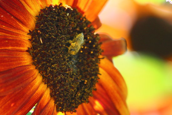ShutterlySpectacularPhotography Bee Sunflower