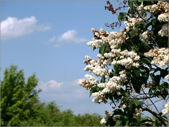 nature landscape white lilac flowers syringa blossom tree sky clouds