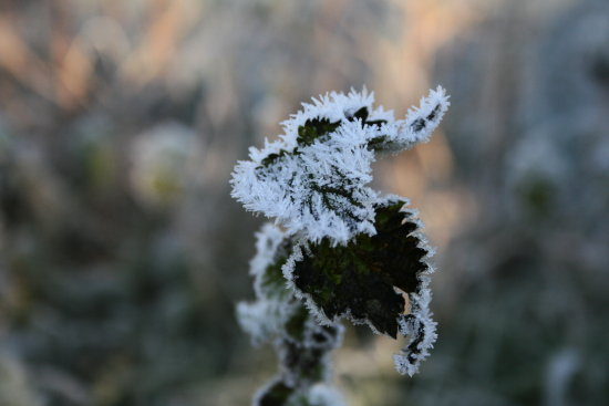 compfrozen macro frost winter nettle