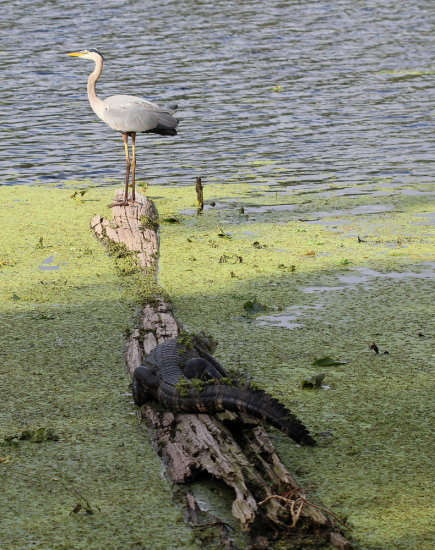 alligator birds