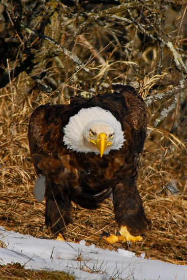 Bald eagle with a temper