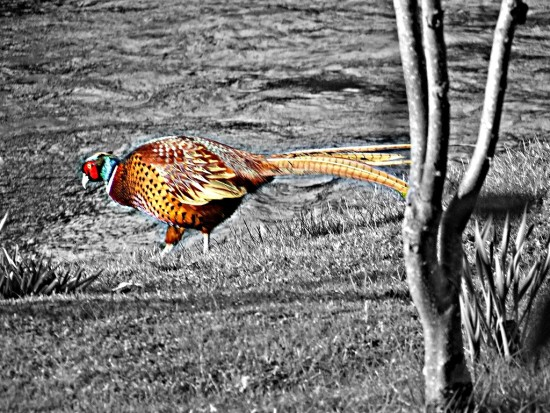 Pheasant Luxborough hdr 2011rob