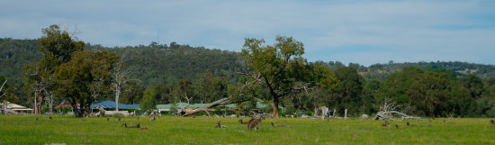 kangaroos graze byford perth littleollie