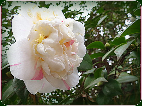 Camelia (Camilia ?)  From a tree in my East lawn this morning.  Always nice to have a little colo...
