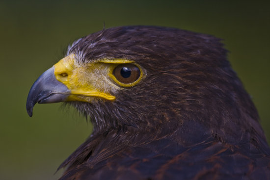 Harris Hawk Bird