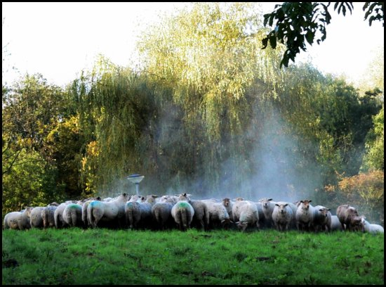 sheep steam
