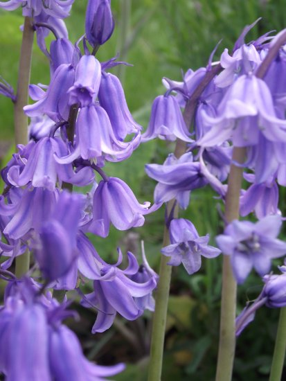 my garden bluebells