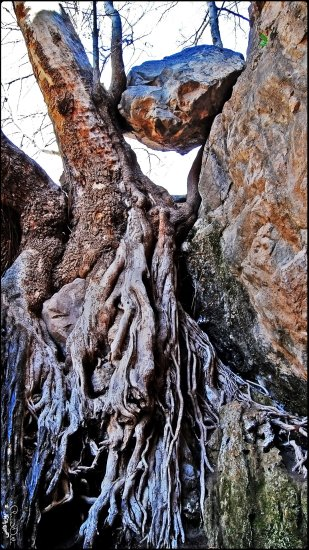 Khaf Torbate Heydariyeh KHorasan Roots Tree Nature Rock Landscape Roots