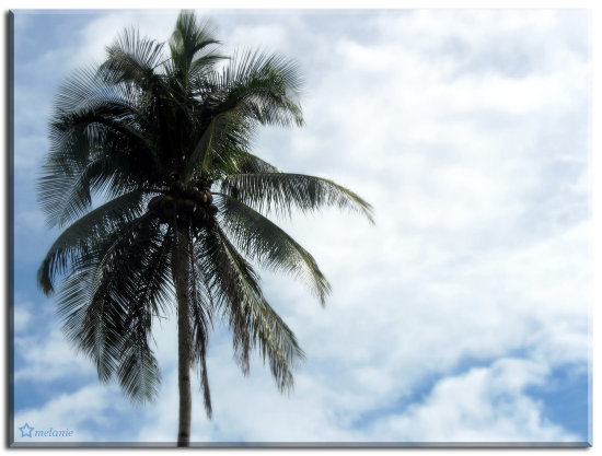 "Reaching for the Sky...( Coconut Tree...""Tree of Life"" )