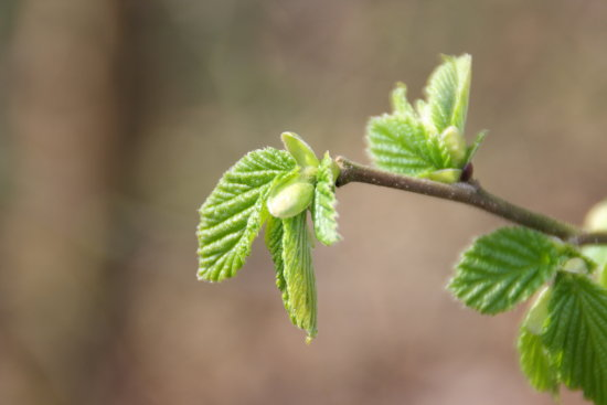 Spring Nature_buds Netherlands