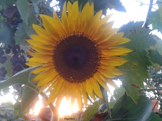 sunflowers sunset pecel janos garden