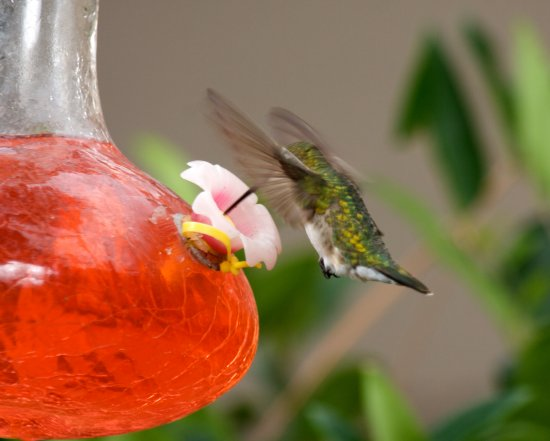 Humming bird mkass