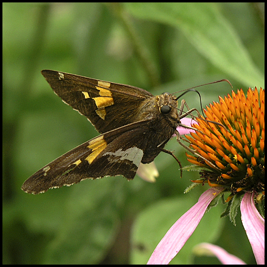 butterfly silverspottedskipper nature echinacea
