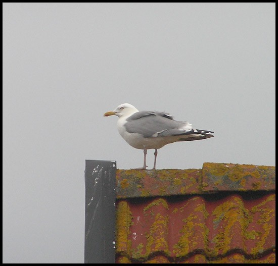 roof bird gull herringgull sky