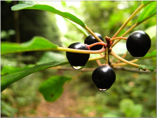 rain forest drops fruits nature France
