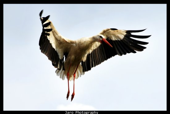 birds wild nature white stork lithuania landing