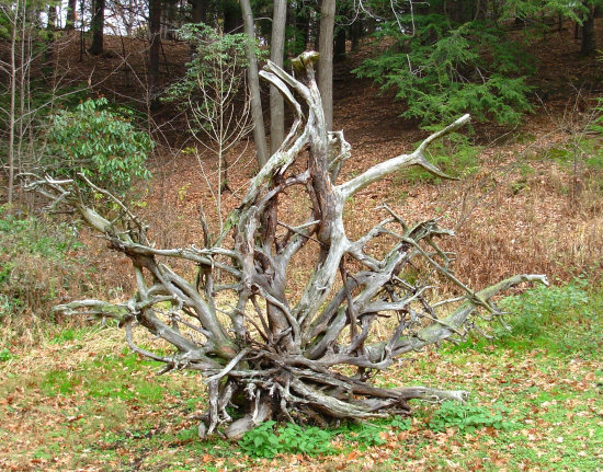 uprooted tree roots stump