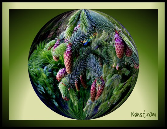 abstract pine cones fir tree