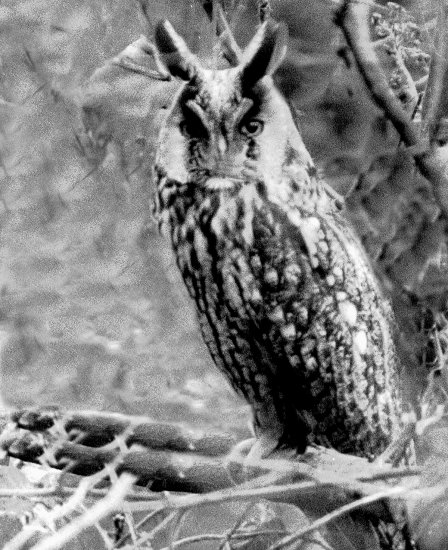 Long Eared Owl UK