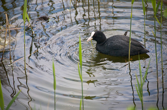 coot bird birds water d300 nikon