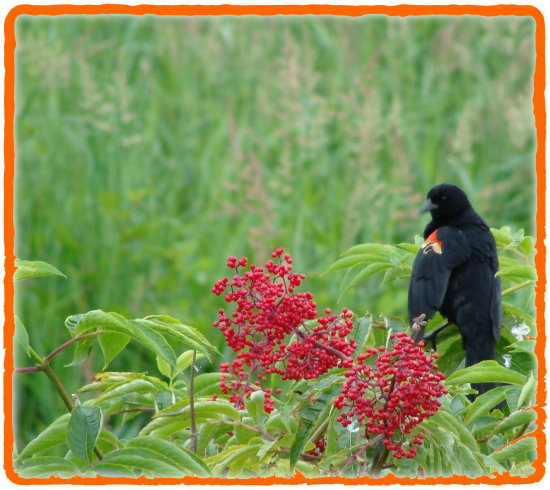 carlsbirdclub red winged black bird