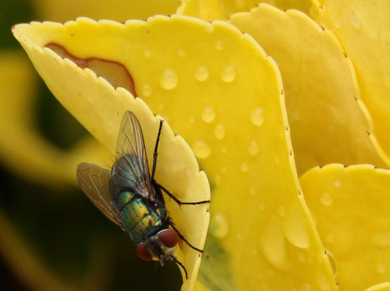 flies insects drink rain perth littleollie