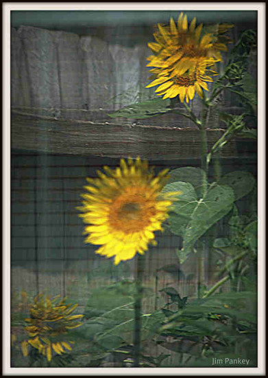 sunflower reflection backyard pankey wildspirit