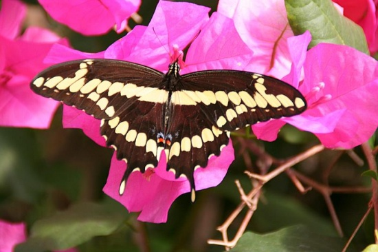 My favorite subject...butterflies!!  This Giant Swallowtail looked so pretty sunning its wings on...