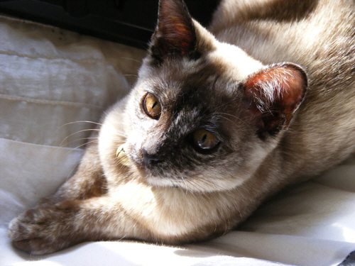 burmese kitten cat feline animal pet family
