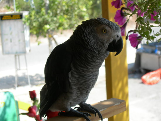 coco the parrot. a very happy and friendly parret living in a bar in cyprus.