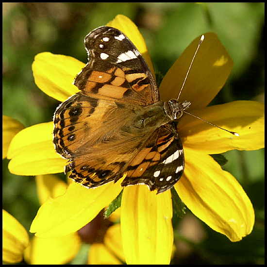 paintedlady butterfly blackeyedsusan flower