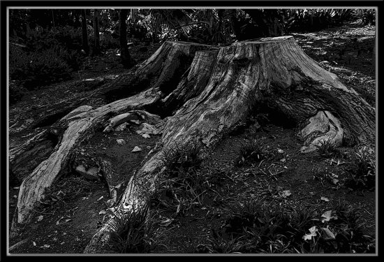 tree stump bw