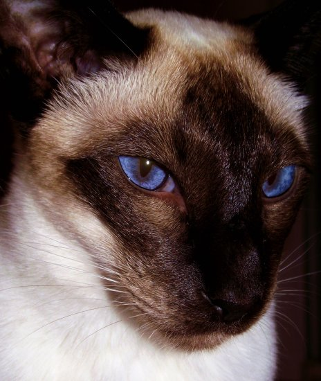cats siamese blue eyes saffi9