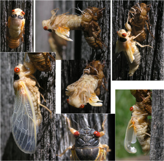 cicada periodic thirteenyear insect